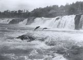 330px-Salmon_leaping_at_Willamette_Falls